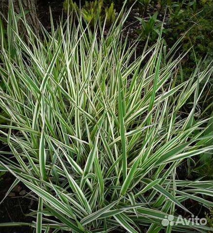 Фалярис тростниковый многолетние растение