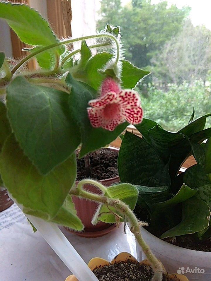 Комнатные цветы купить на Зозу.ру - фотография № 6