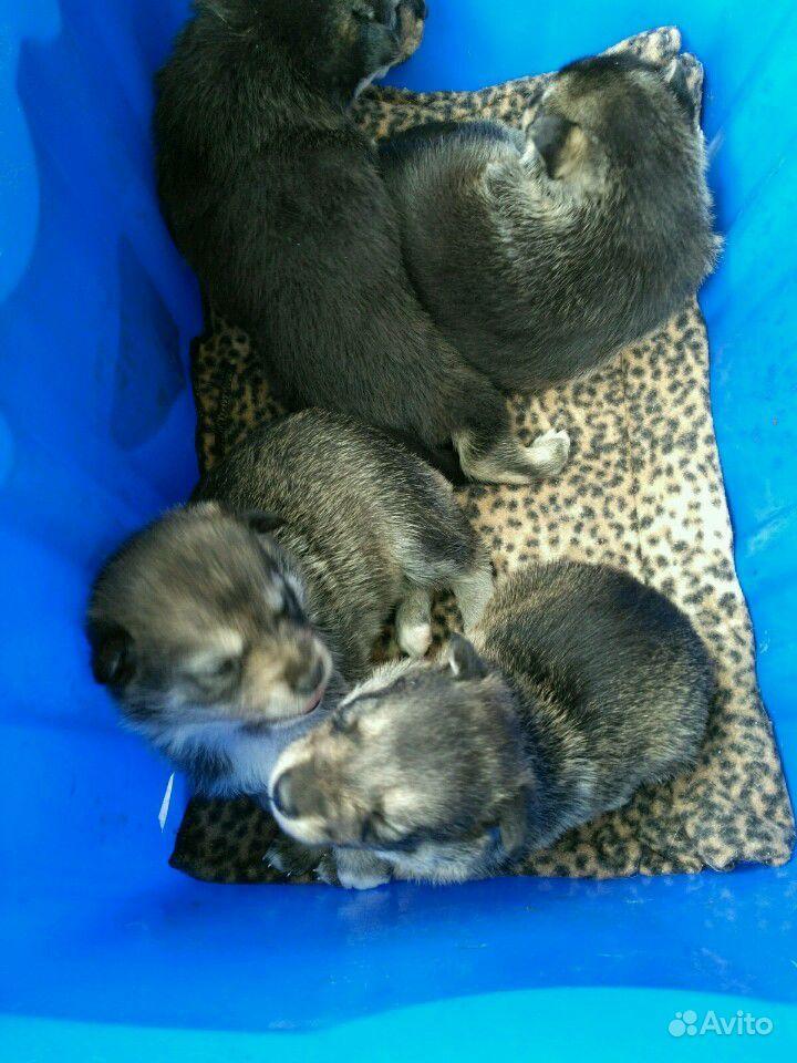 Щенки от средней собачки в Дзержинске - фотография № 5