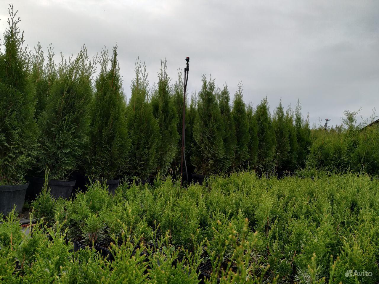Хвойные растения,Туя (туи,ель,можжевельник) купить на Зозу.ру - фотография № 4