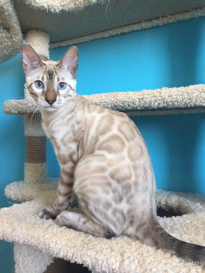 Бенгальский котик линкс - снежный барс Stallone