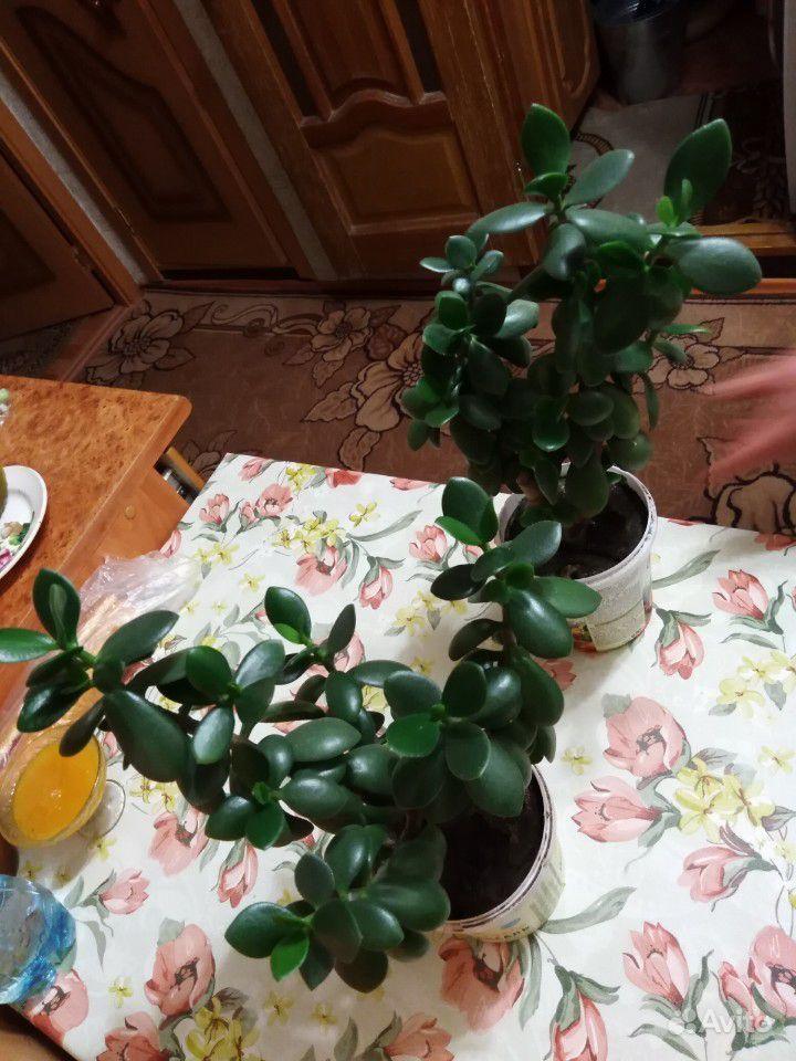 Денежное дерево купить на Зозу.ру - фотография № 1