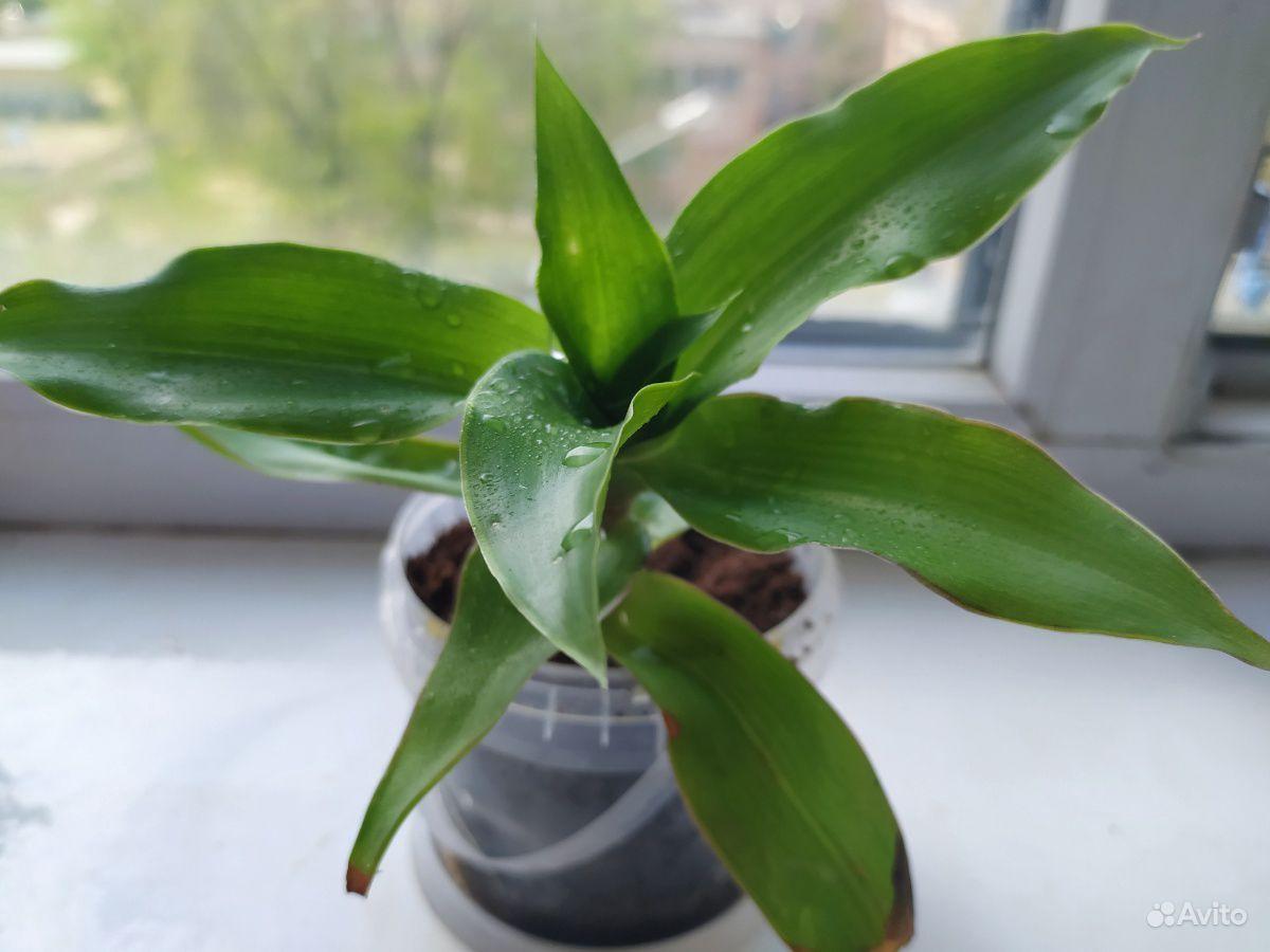 Комнатные растения купить на Зозу.ру - фотография № 2