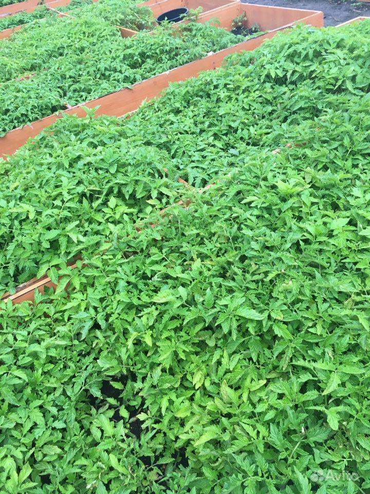 Рассада помидоры, капуста, баклажаны купить на Зозу.ру - фотография № 1