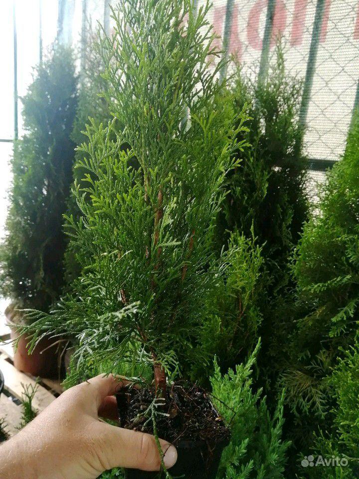 Остаток Растений купить на Зозу.ру - фотография № 4