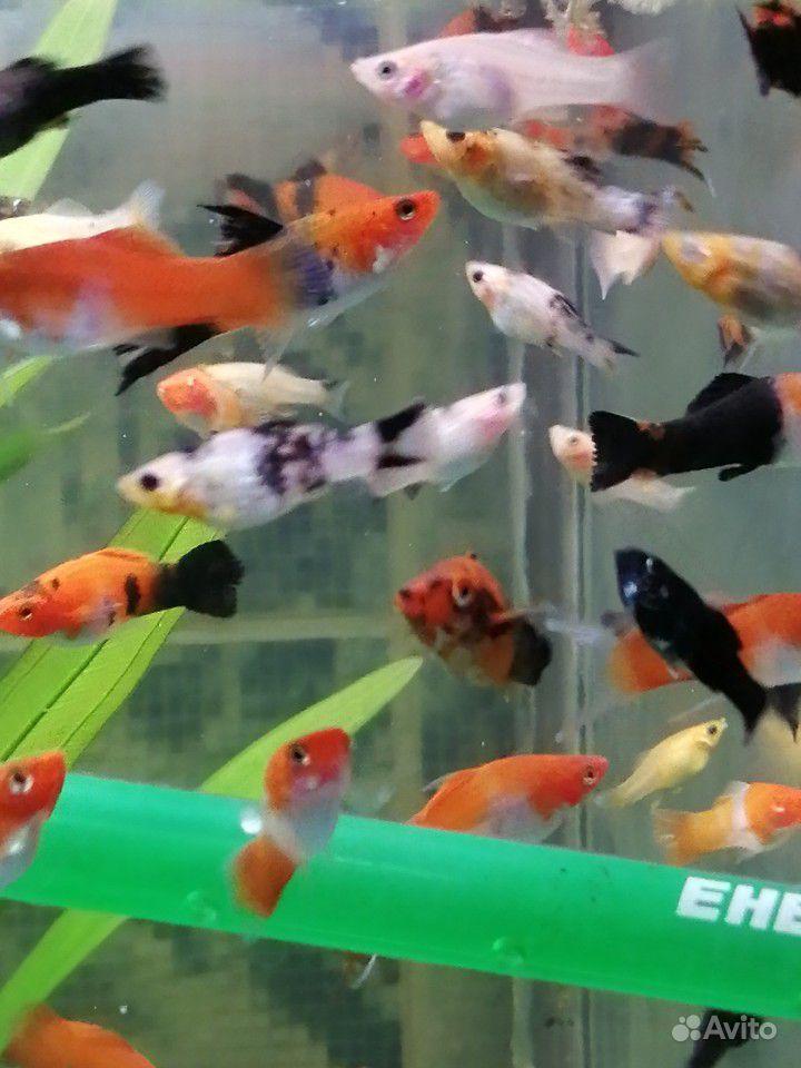 Меченосцы и молинезии аквариумные рыбки купить на Зозу.ру - фотография № 4