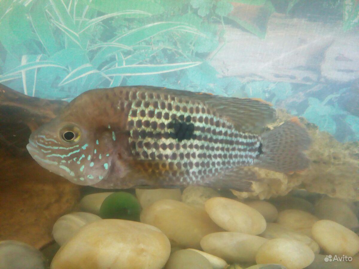Аквариумная рыбка купить на Зозу.ру - фотография № 4
