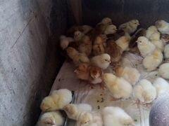 Подрощенные Цыплята родонит и инкубационное яйцо