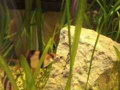 Аквариумные рыбки. суматранский барбус