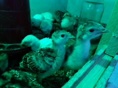 Индюшата - цыплята