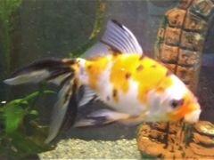 Каметы Коя аквариум до 15 см с хвостом