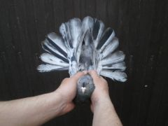 Голуби николаевской породы