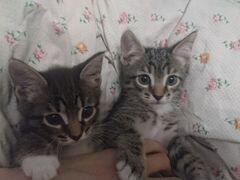 Отдам двух котят (парни)