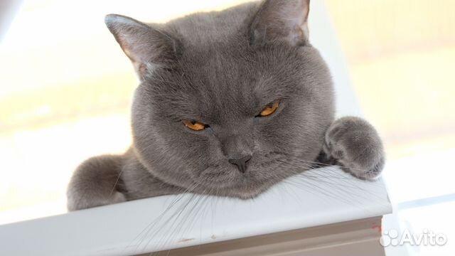 Требуется кошка для британца 89171858838 купить 1