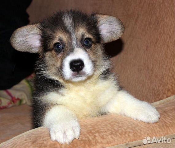 Вельш корги пемброк щенки купить на Зозу.ру - фотография № 1