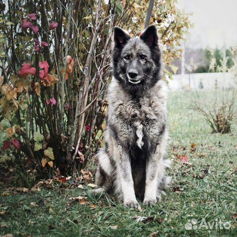 Добрейшая чёрная собака ищет дом купить на Зозу.ру - фотография № 4