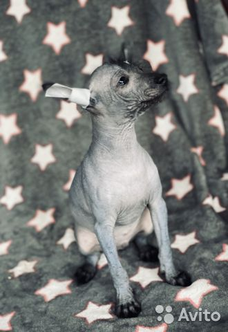 Мексиканская голая (Ксолоитцкуинтли) купить на Зозу.ру - фотография № 2