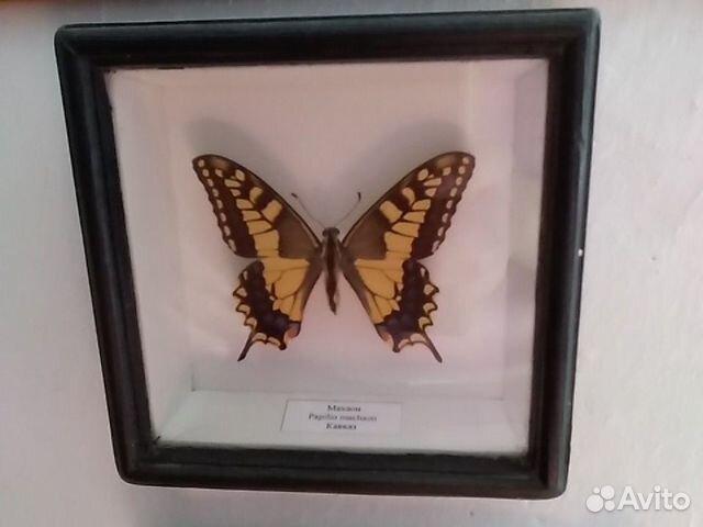Бабочка в рамке высушеная Махаон Кавказ  купить 1