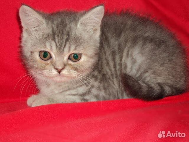 Котята британские девочки 89040755425 купить 2