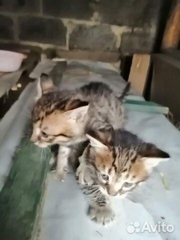 Kittens 89207893593 buy 1