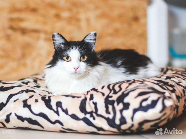 Великолепная кошка Аврора, 2 года  купить 2