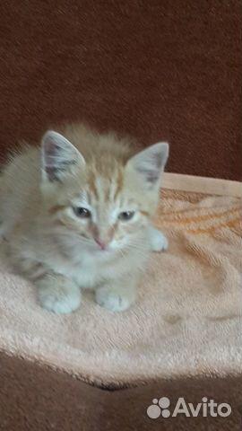Котенок (мальчик)  89625017534 купить 1