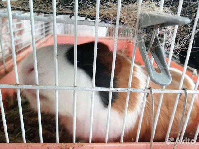 Морская свинка с клеткой  89144759198 купить 1
