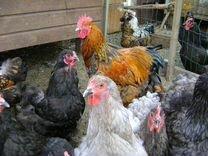 Подрощеные породные цыплята