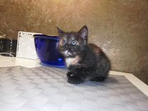 Кошкечка котенок 1 мес