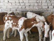 Телята бычки 1-6 месяцев