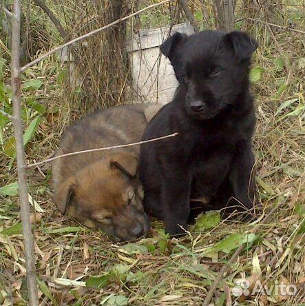 Красивые щенки ищут любящие семьи  89135639765 купить 3