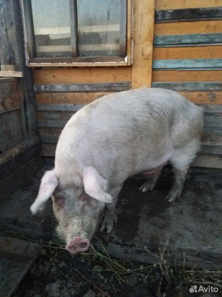 Продам мясо свинину  89149374290 купить 1
