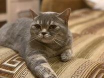 Британская прямоухая кошка