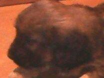 Щенок спаниеля