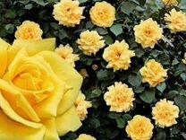 Розы канадки плетистые,парковые и др