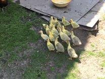 Рейнские гусята