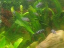 Продам аквариумных рыб цыхлид. Аэрофорус растения