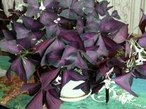 Оксалис (Кислица фиолетовая)