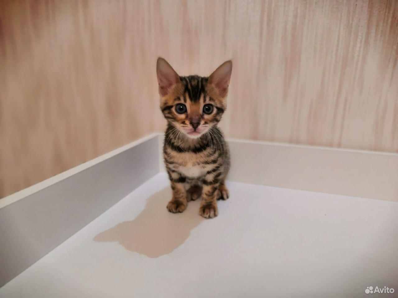 Бенгальские котята  89610262725 купить 4