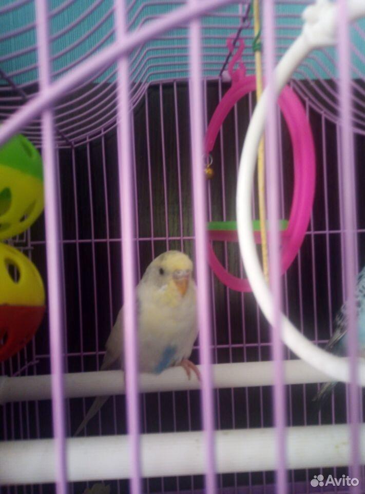 Попугаи птенцы мальчик и девочка с клеткой  89023112532 купить 2