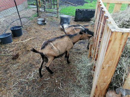 Чешские козы - Животные - Объявления в Марксе