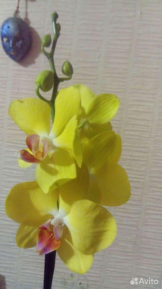 Орхидея 89529483343 купить 1