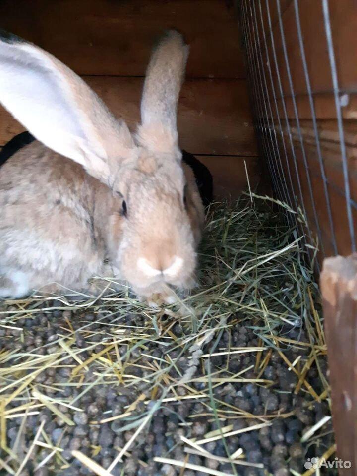 Кролики  89051057026 купить 2