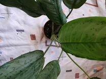 Аглаонемы — Растения в Саратове