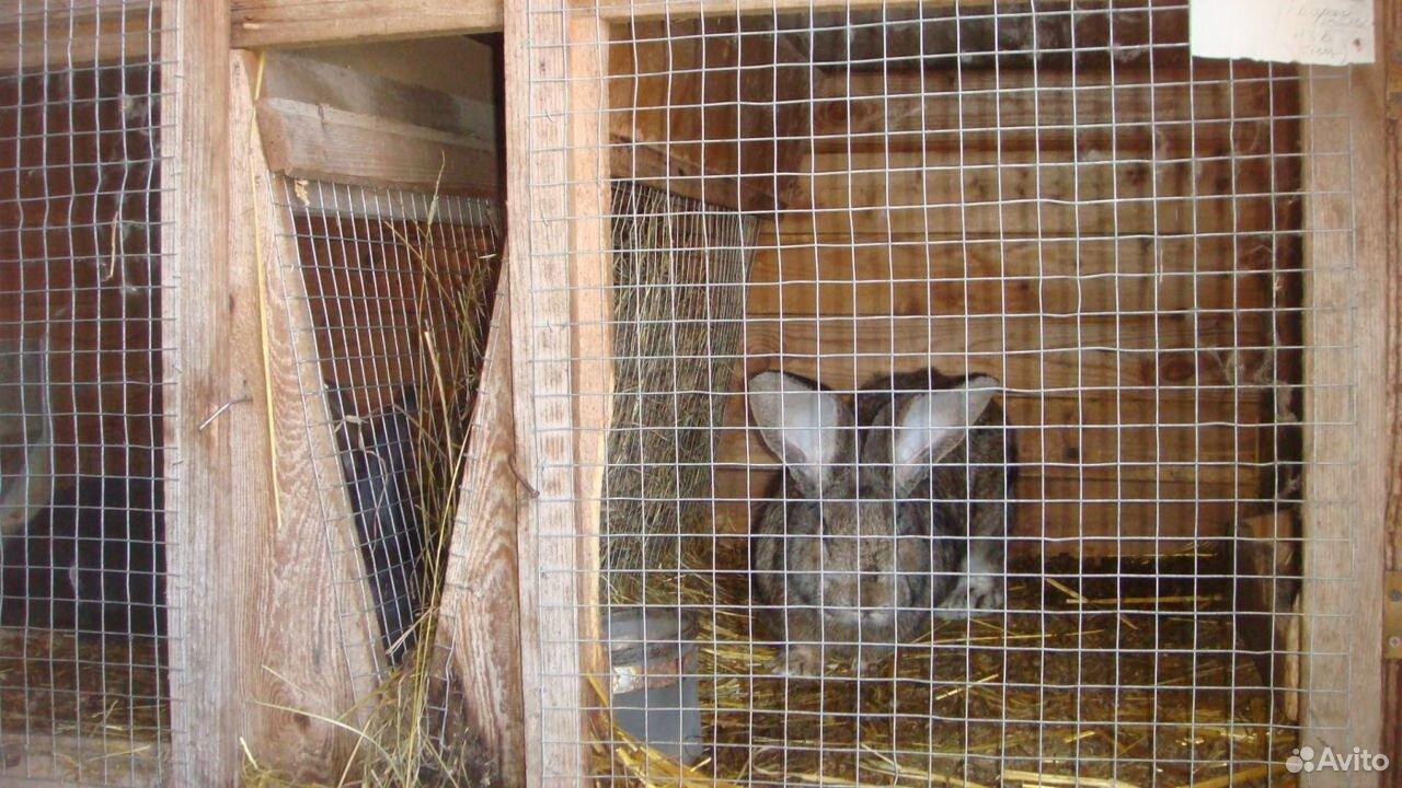 Kaninchen  89107486457 kaufen 1