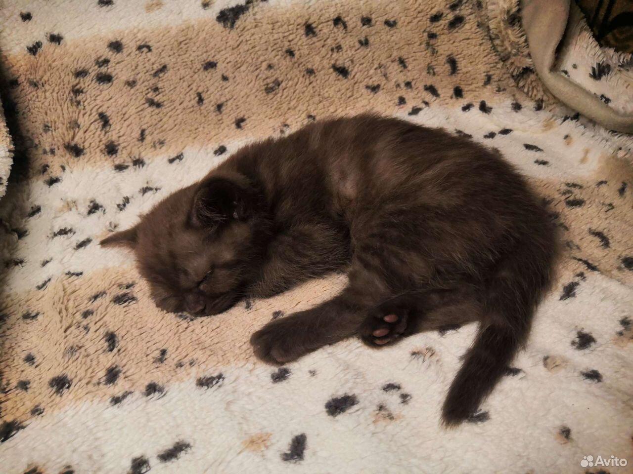 Шотландские котята  89525321477 купить 5