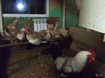 Загорской,Пушкинской Инкубационное яйцо.цыплята