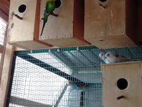 Волнистые попугайчики молодые и взрослые опт, розн