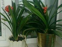 Цветок комнатный Кливия
