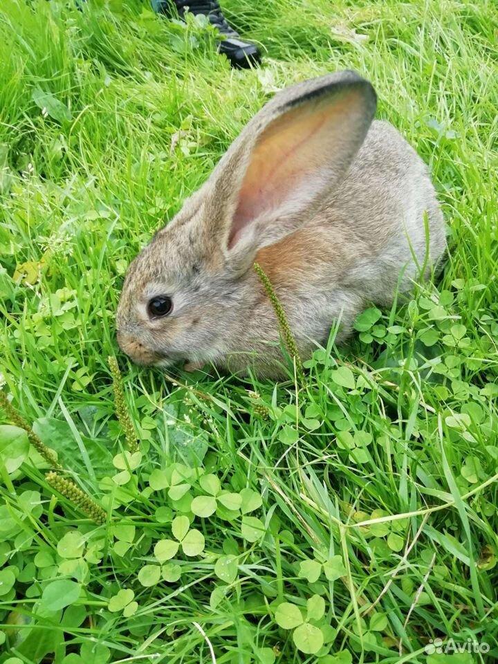 Кролики  89997865033 купить 6